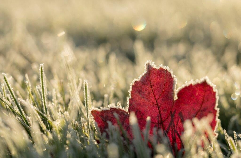 frosted red leaf in a frosted field of grass